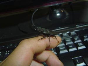 小さいクワガタ虫