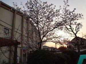 中学校 体育館横の桜