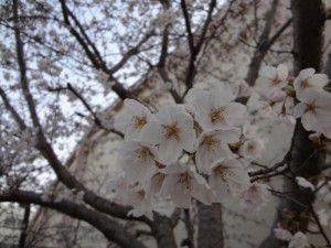 冠小学校の桜2